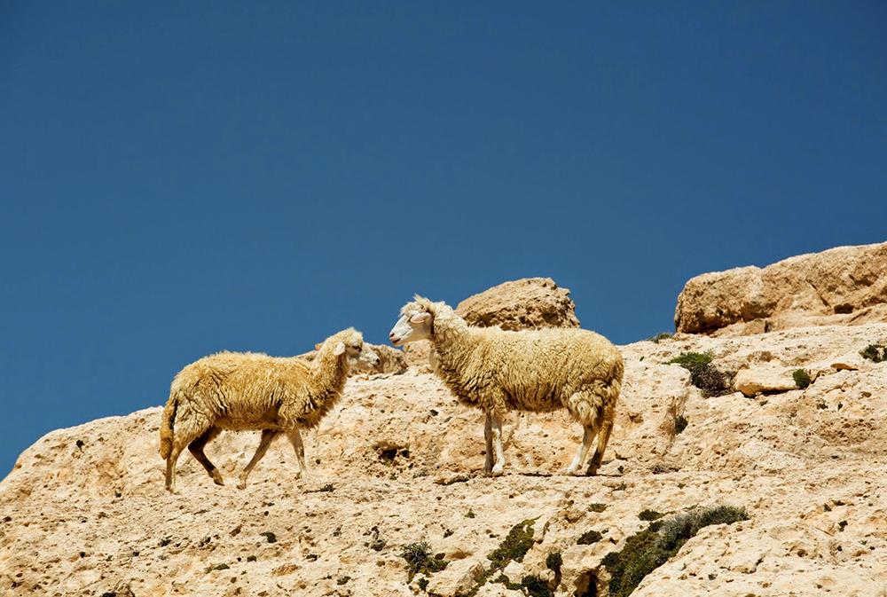 Moutons lors du séjour en famille entre Atlas et océan