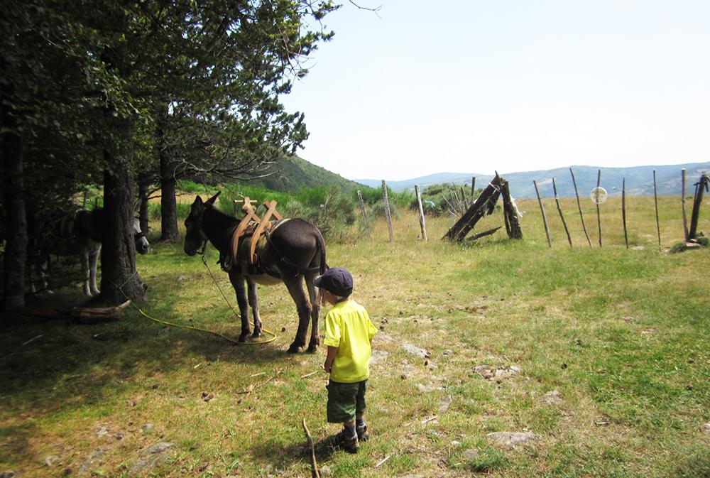 Ane lors de randonnée en Cévennes. rando âne en famille loin de la foule du chemin de Stevenson