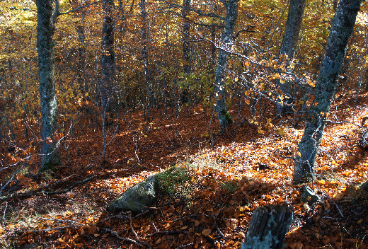 forêt Aubrac
