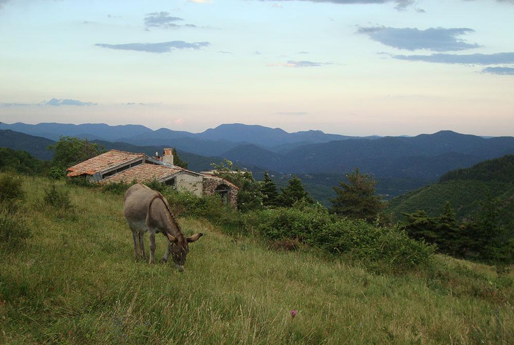 Un âne broute dans un champs lors du séjour Randonnée avec nos ânes en Cévennes. rando ânes loin de la foule du chemin de Stevenson. rando âne en famille loin de la foule du chemin de Stevenson