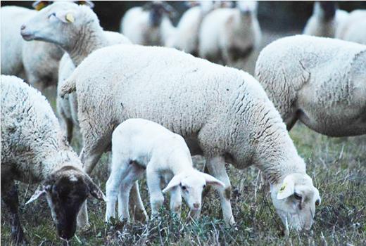 brebis et agneau lors du séjour jeunesse dans les Cévennes