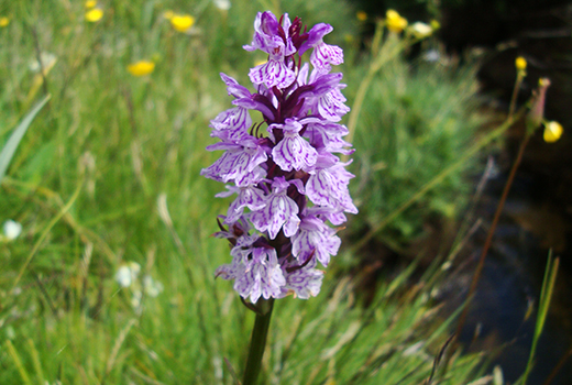 aubrac_botanique_orchidee