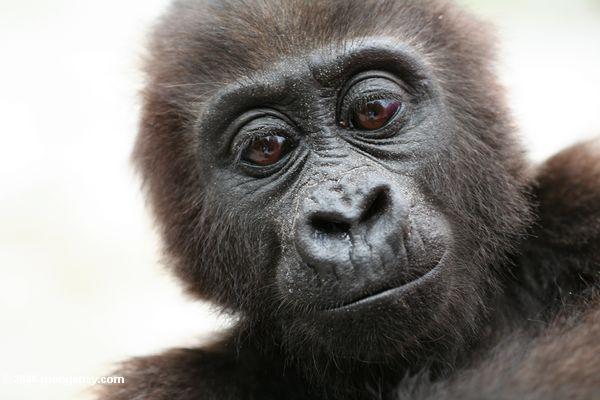 voyage sur les traces des gorilles au Congo brazaville. Photo d'un bébé gorille
