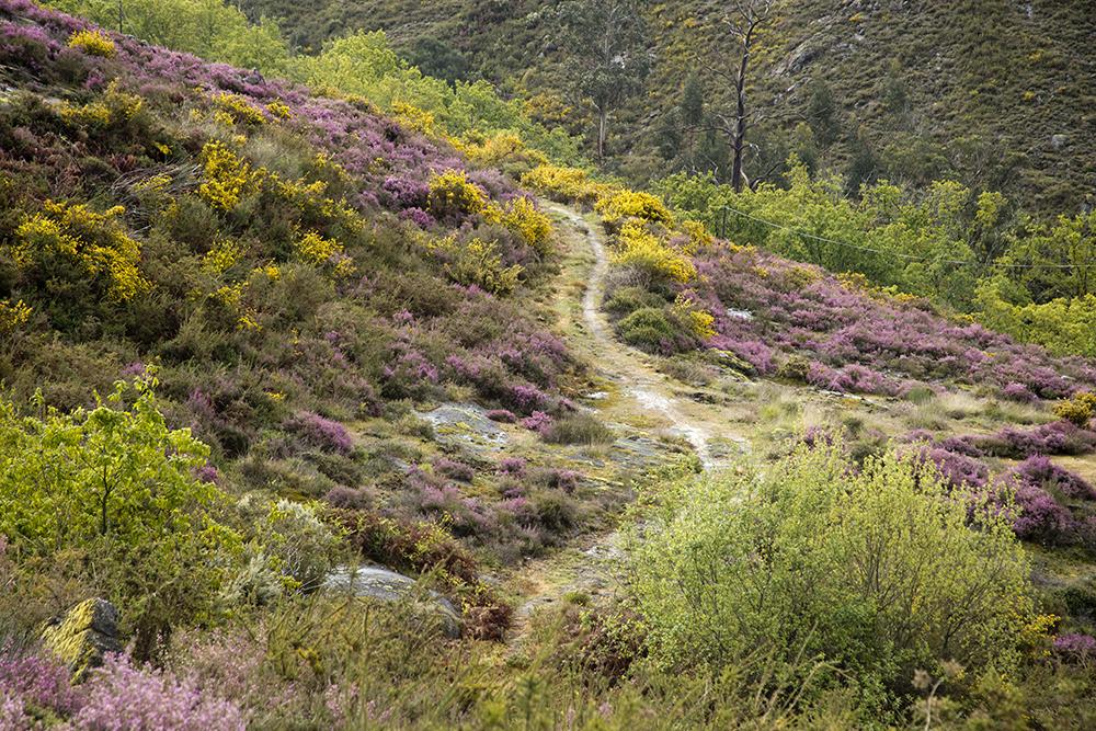 Bruyère violette dans le Parc du Peneda