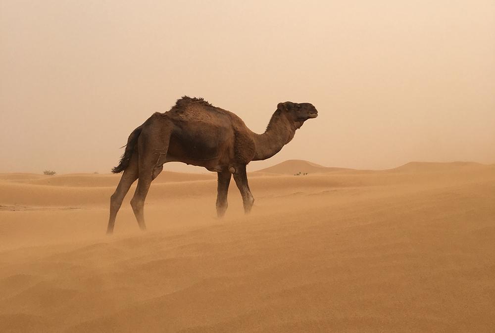 dromadaire dans une tempête de sable dans le désert marocain