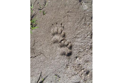 Photo d'empreintes d'un animal dans un sol sableux au cours de notre séjour dans les arbres