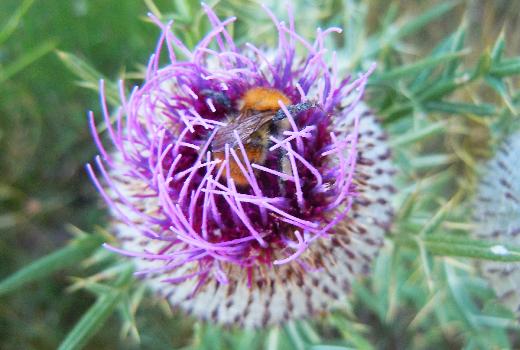 Photo d'un beau chardon avec une abeille qui butine dedans, dans des teintes violettes