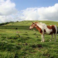 Magnifique cheval dans les champs fleuris de l'Aubrac
