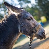 Séjour randonnée âne Cévennes dans la Réserve Internationale de Ciel Etoilé