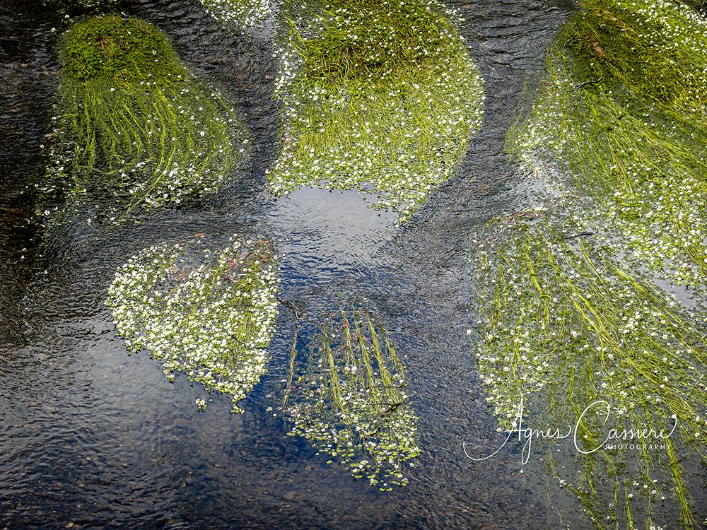 Photo macro d'algues dans une rivière d'Aubrac