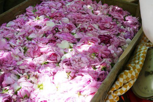 Récolte de Rose de Damas