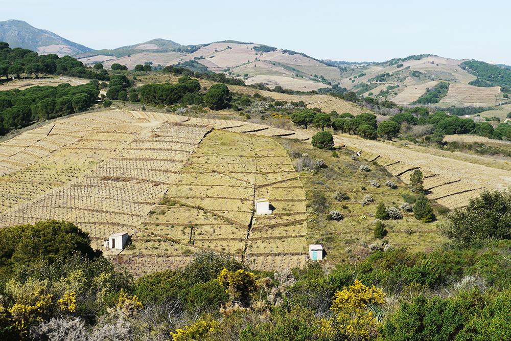 Vue sur les vignes autour de Banyuls